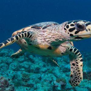 Maldives Honeymoon Package InterContinental Maldives Maamunagau Resort Marine Life