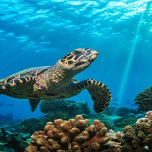 Maldives Honeymoon Packages Baglioni Maldives Resorts Turtle In Sea