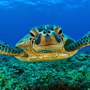 Constance Lemuria - Luxury Seychelles Honeymoon Packages - Sea turtle