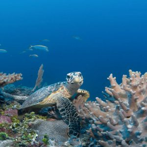 Maldives Honeymoon Packages Six Senses Laamu Turtle In Sea
