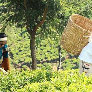 Herritance Tea Factory - Sri Lanka Honeymoon - tea picking