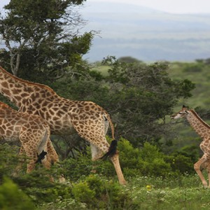 Kariega Game Reserve - Luxury South Africa Honeymoon Packages - Giraffes