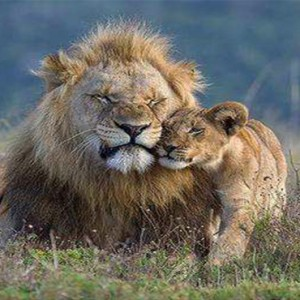 Kariega Game Reserve - Luxury South Africa Honeymoon Packages - lion and cub