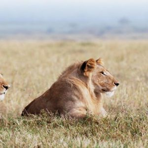 South Africa Honeymoon Packages Governors Camp, Kenya Lions