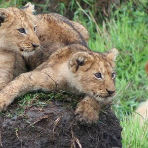 South Africa Honeymoon Packages Governors Camp, Kenya Tigers