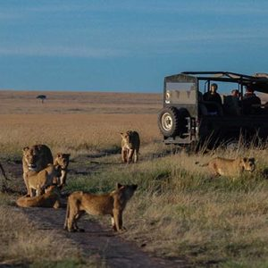 South Africa Honeymoon Packages Governors Camp, Kenya Tigers In Safari Game Drive