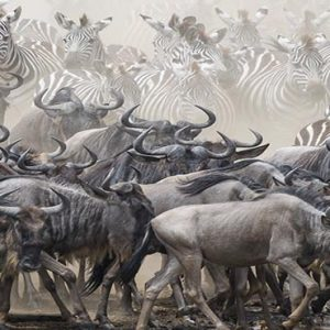 South Africa Honeymoon Packages Governors Camp, Kenya Wildebeest