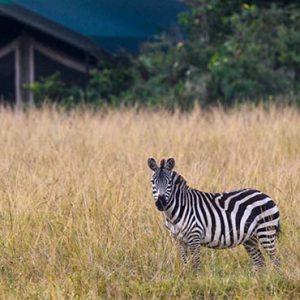 South Africa Honeymoon Packages Governors Camp, Kenya Zebras In Safari