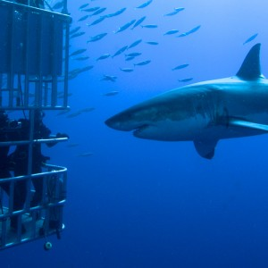 great-white-shark-south-africa