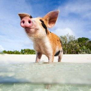 swimming-with-pigs-bahamas
