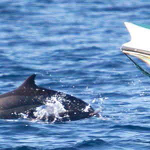 Dolphin Watching Cinnamon Dhonveli Maldives Honeymoons