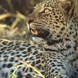 Dulini Lodge Kruger - Safari Honeymoons - Leopard