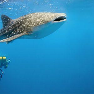 Scuba Diving Dhigufaru Island Resort Maldives Honeymoons