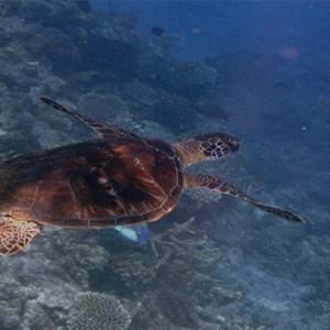 matamanoa-island-resort-fiji-honeymoon-packages-turtles