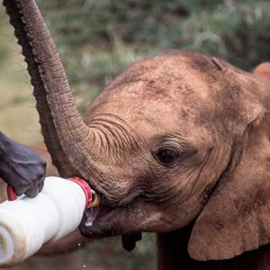 elephant-feeding-giraffe-manor-luxury-kenyan-honeymoon-packages