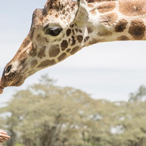 giraffes-1-giraffe-manor-luxury-kenyan-honeymoon-packages
