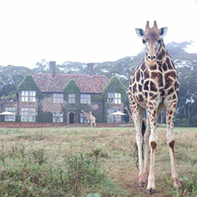 thumbnail-giraffe-manor-luxury-kenyan-honeymoon-packages