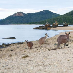 Daydream Island Resort & Spa - Australia Honeymoon Packages - Kangaroos on the beach