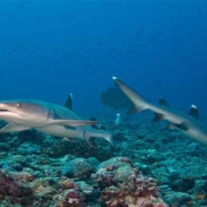 Four Seasons Resort Maldives at Kuda Huraa - Maldives Honeymoon Packages - Shark snorkeling safari