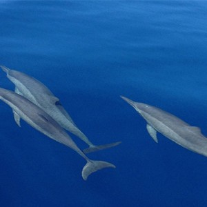 Loama Resort Maldives at Maamigili - Luxury Maldives Honeymoon packages - dolphin excursion