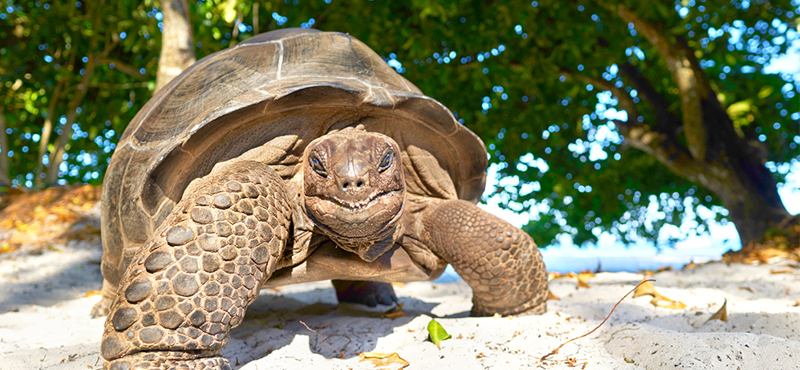giant tortoise - 5 things you must see on your seychelles honeymoon - luxury seychelles honeymoon packages