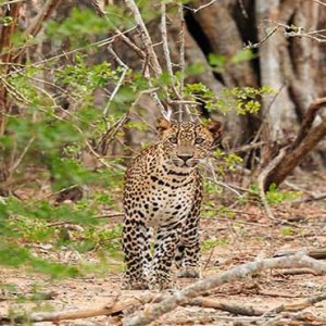 Uga Chena Huts Yala - Luxury Sri Lanka Honeymoon packages - Ruhuna National Park wildlife leopards