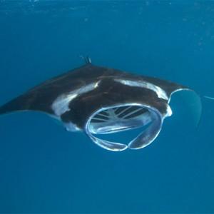Hurawalhi Island - Luxury Maldives Honeymoon Packages - manta rays