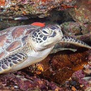 Hurawalhi Island - Luxury Maldives Honeymoon Packages - turtle