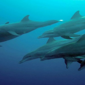 Kuramathi Maldives - Luxury Maldives Honeymoon Packages - Dolphins