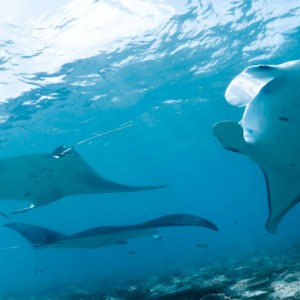 Kuramathi Maldives - Luxury Maldives Honeymoon Packages - stingrays