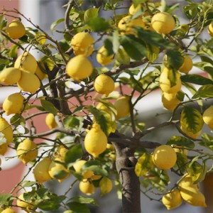 Le Sirenuse - Luxury Italy Honeymoon Packages - lemon tree