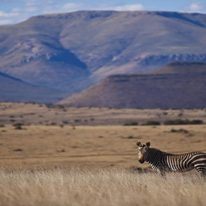 Samara Private Game Reserve - Luxury South Africa Honeymoon Packages - Zebra