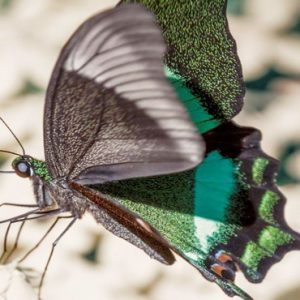 Malaysia Honeymoon Packages The Datai Langkawi Nature Emerald Peacock Butterfly