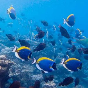 Maldives Honeymoon Packages SAii Lagoon Maldives, Curio Collection By Hilton Marine Life