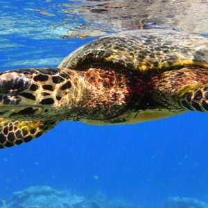 Maldives Honeymoon Packages Raffles Maldives Meradhoo Turtle