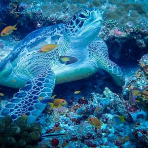 Maldives Honeymoon Packages SAii Lagoon Maldives, Curio Collection By Hilton Sea Turtle
