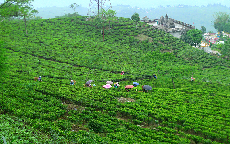 Tea Plantation Blog Darjeeling Tea Estates, West Bengal, India
