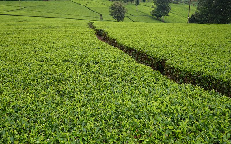 Tea Plantation Blog Kericho, Kenya