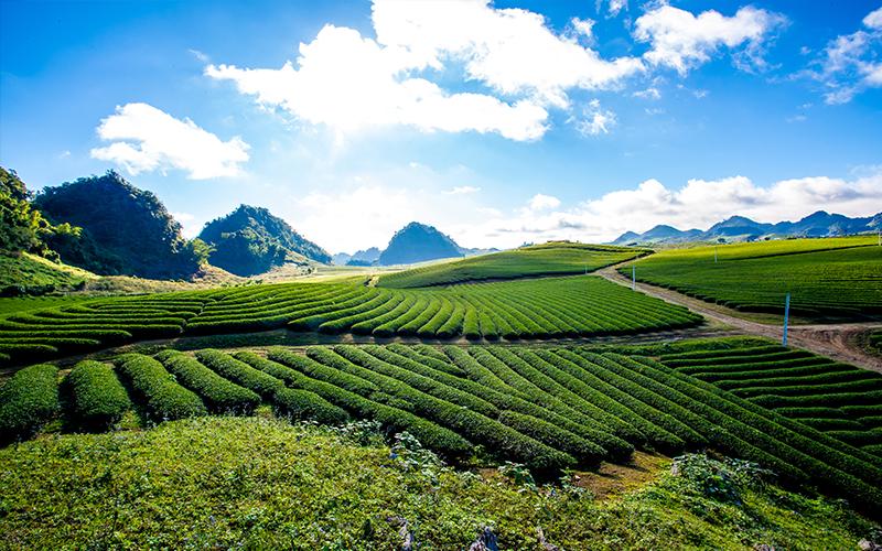 Tea Plantation Blog Moc Chau Plateau, Vietnam