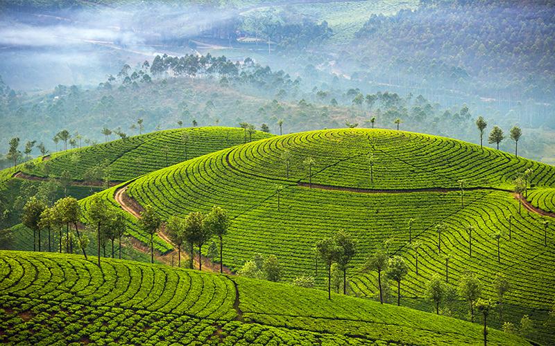Tea Plantation Blog Munnar Tea Estates, Kerala, India