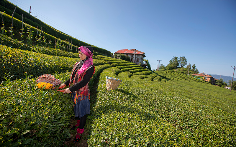 Tea Plantation Blog Rize, Turkey