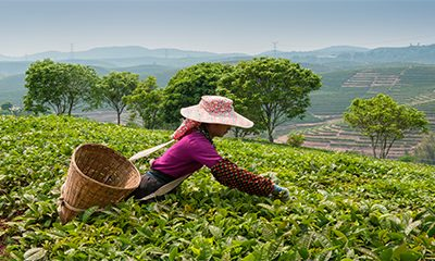 The Most Breathtaking Tea Plantations in the World