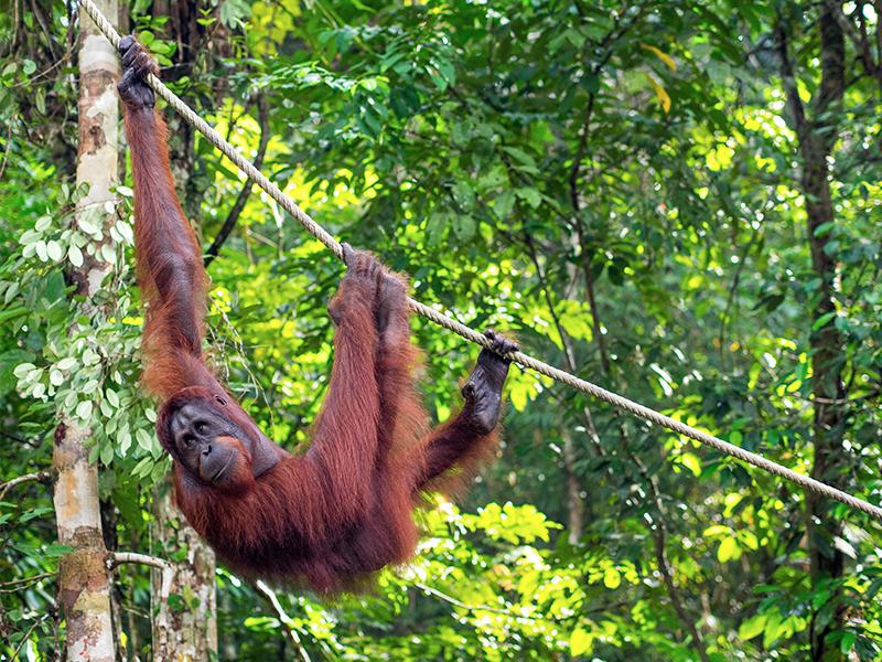 Romantic Things To Do In Borneo Malaysia Honeymoon Packages Orangutan