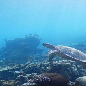 Maldives Honeymoon Packages Reethi Faru Resort Sea Turtle