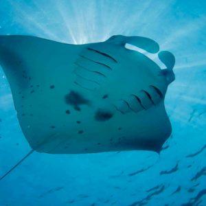 Maldives Honeymoon Packages Reethi Faru Resort Stingray