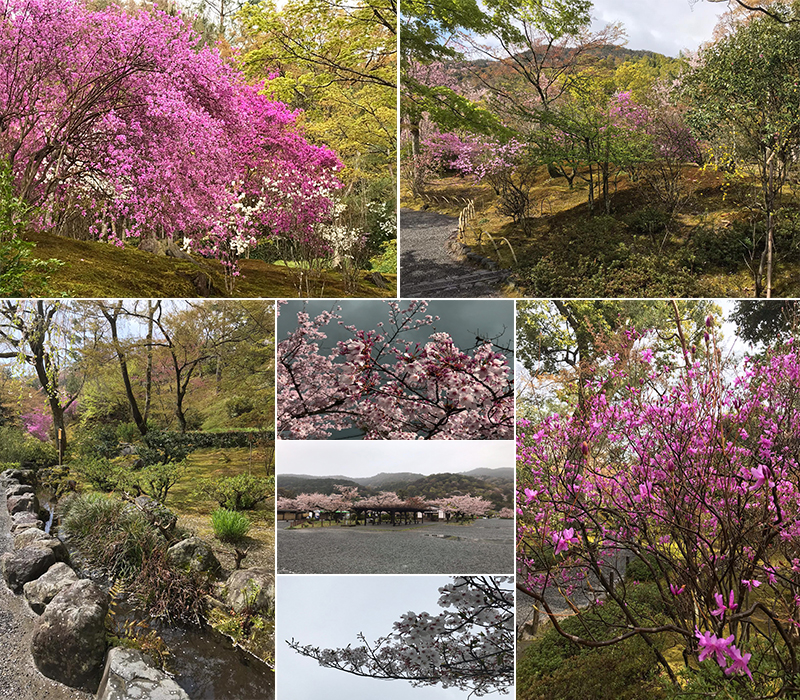 Holly's Japan Experience Kyoto Cherry Blossoms