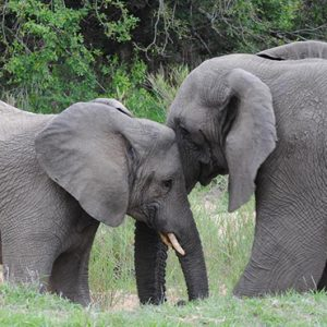 South Africa Honeymoon Packages Thornybush Game Reserve Elephants