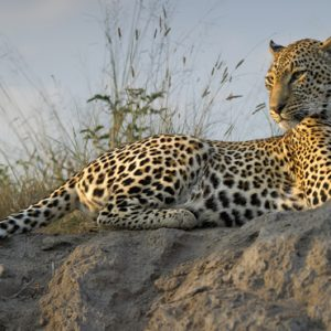South Africa Honeymoon Packages Thornybush Game Reserve Leopard