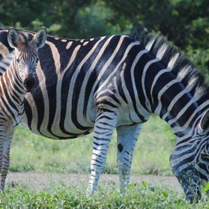 South Africa Honeymoon Packages Thornybush Game Reserve Zebra