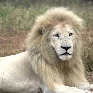 South Africa Honeymoon Packages Elandela Private Game Reserve White Lion And Cub